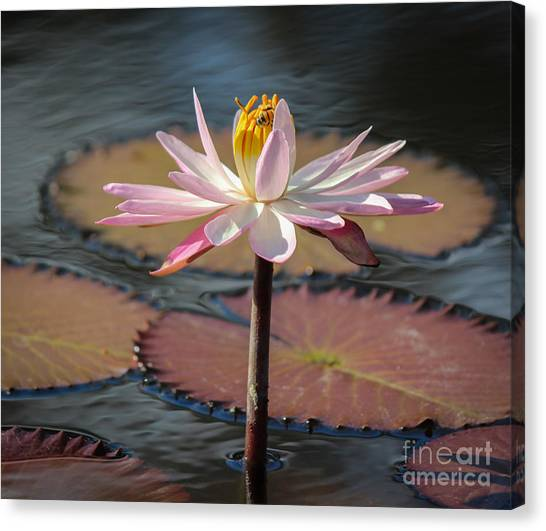 St. Lucie County Canvas Print - Bee On Waterlily by Liesl Walsh