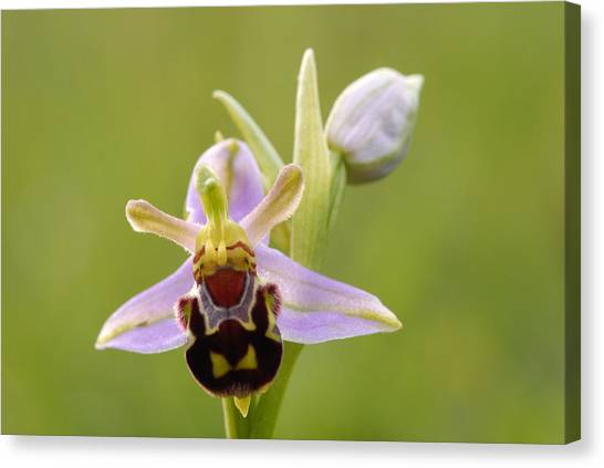 Bee Orchid Canvas Print by Liz Pinchen