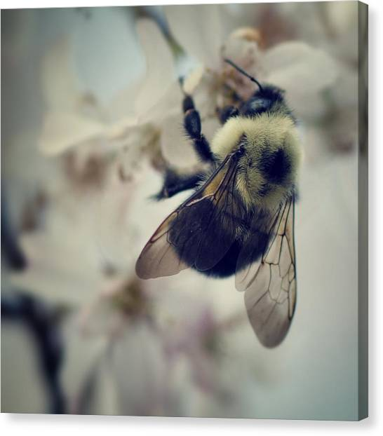 Spring Canvas Print - Bee by Sarah Coppola