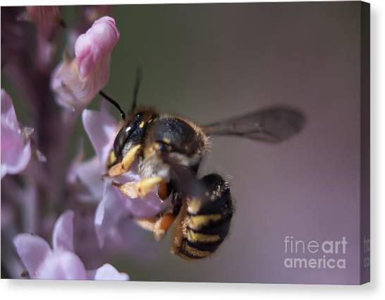 Bee Sipping Nectar Canvas Print
