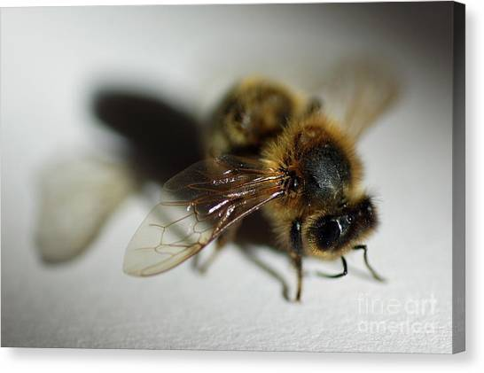 Bee Sitting On A White Sheet Canvas Print by Sami Sarkis