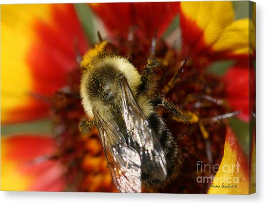 Bee Six - Canvas Print by Silvana Siudut