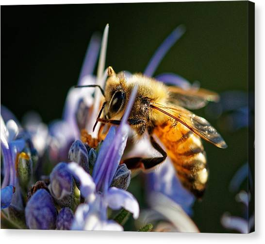 Bee Visits Rosemary  Canvas Print