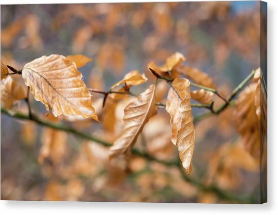 Beech Garland 2 Canvas Print