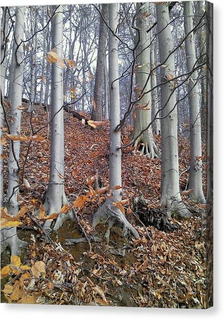 Beech Trees Canvas Print
