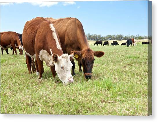 University Of Hawaii Canvas Print - Beef Cattle Grazing In Pasture by Inga Spence