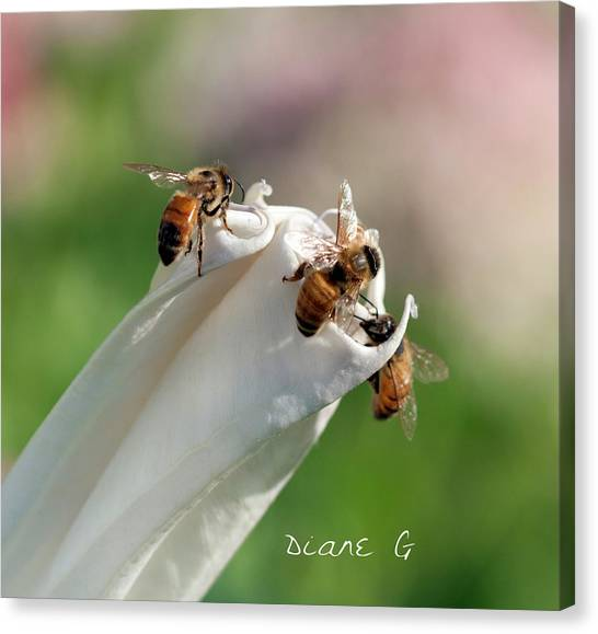 Bees On Angel Trumpet Canvas Print