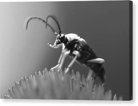Beetle In Black And White Canvas Print