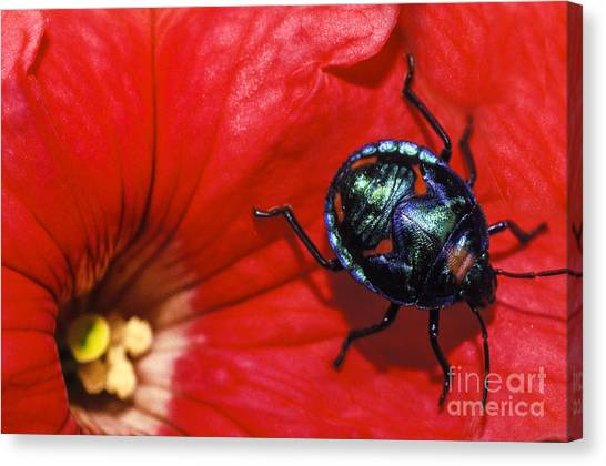 Hibiscus Canvas Print - Beetle On A Hibiscus Flower. by Sean Davey