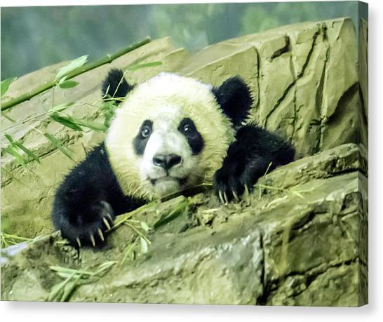 Bei Bei Panda At One Year Old Canvas Print