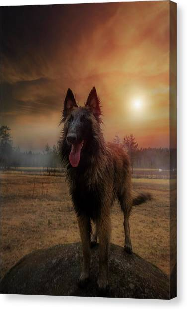 Belgian Shepherd Canvas Print