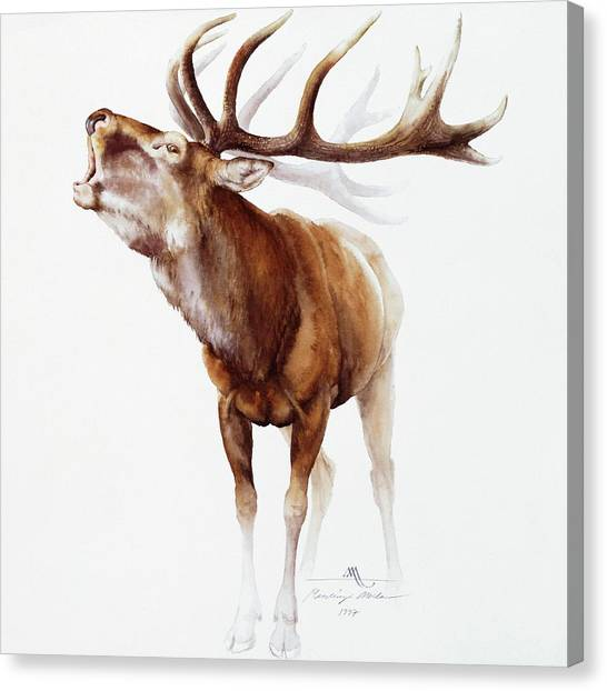 Belling Stag Watercolor Canvas Print