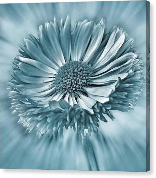 Green Canvas Print - Bellis In Cyan  #flower #flowers by John Edwards