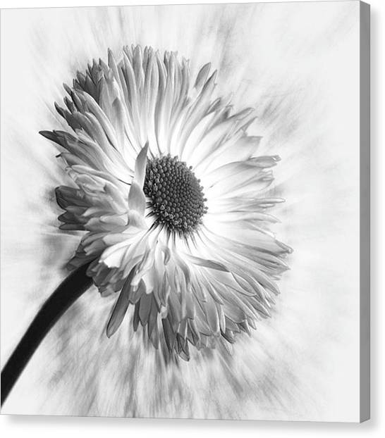 Beauty Canvas Print - Bellis In Mono  #flower #flowers by John Edwards