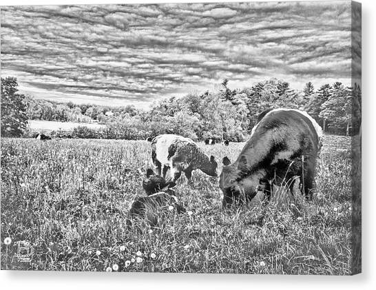 Belted Galloway Beef Cattle Canvas Print