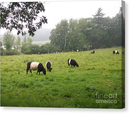 Belted Galloways 2 Canvas Print by Linda Drown
