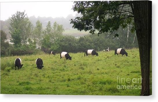 Belted Galloways In Field Canvas Print by Linda Drown
