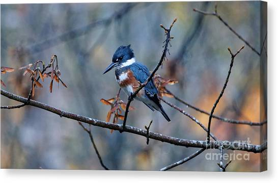 Belted Kingfisher Perch Canvas Print