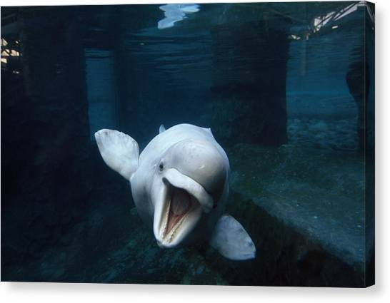 Whales Canvas Print - Beluga Whale Swimming With An Open by Paul Sutherland