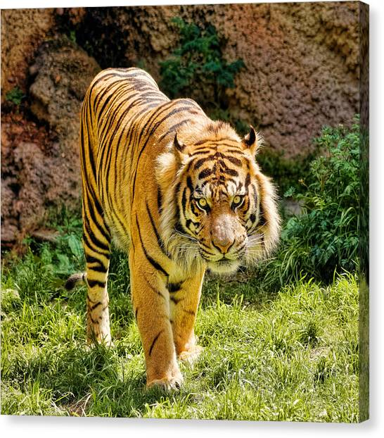 Bengals Canvas Print - Bengal Tiger by Jon Woodhams