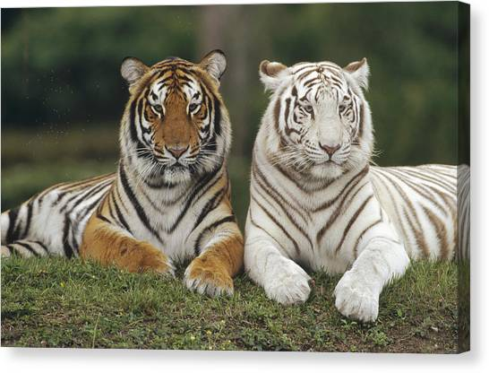 Head And Shoulders Canvas Print - Bengal Tiger Team by Konrad Wothe
