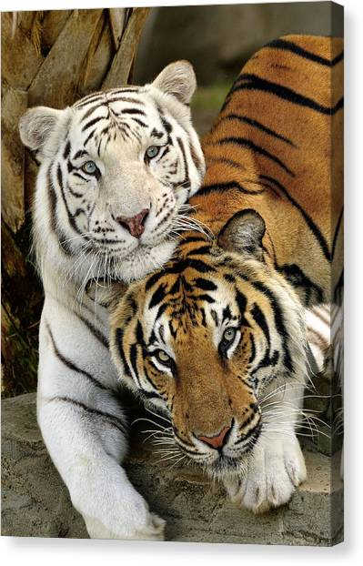 Bengal Tigers At Play Canvas Print