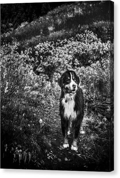 Bernese Mountain Dogs Canvas Print - Bernese Mountain Dog Black And White by Pelo Blanco Photo