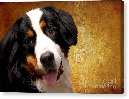 Bernese Mountain Dogs Canvas Print - Bernese Mountain Dog by Smart Aviation