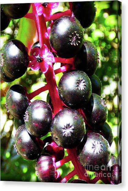 Wild Purple Pokeweed Berries  Canvas Print