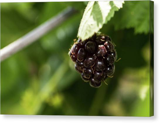 Wild Berries Canvas Print - Berry by Hyuntae Kim