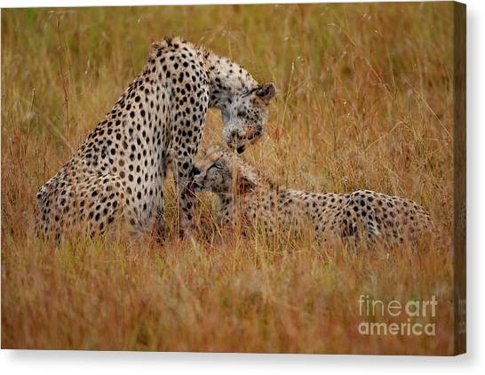 Cheetahs Canvas Print - Best Of Friends by Smart Aviation