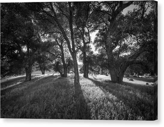 Between The Oaks Canvas Print