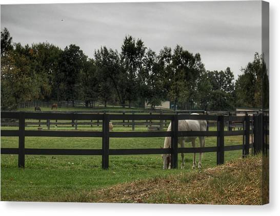 1004 - Beyond The Fence White Horse Canvas Print