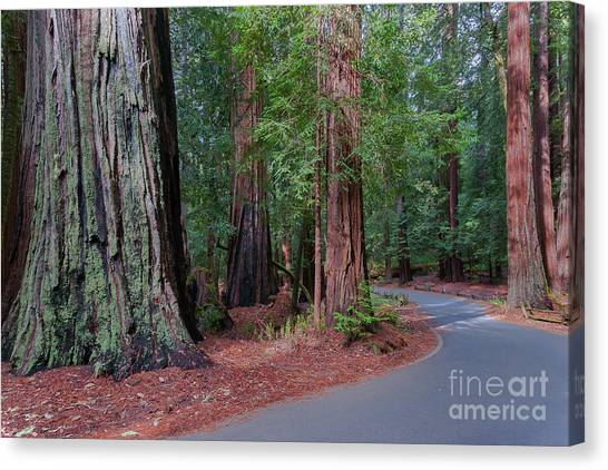 Big Basin Redwoods Canvas Print