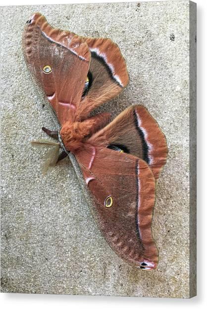 Big Beautiful Silk Moth Canvas Print