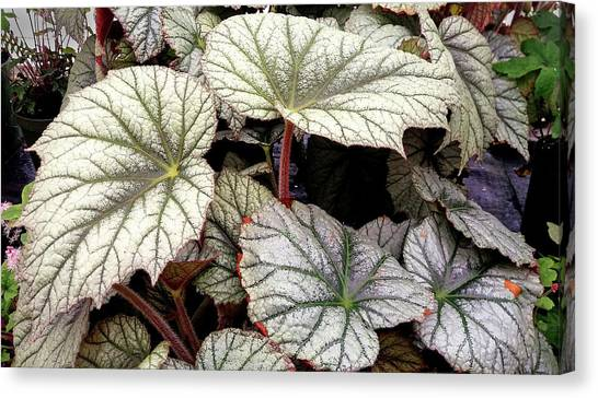 Big Begonia Leaves Canvas Print