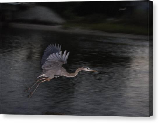 Big Blue Heron In Flight-debbie-may Canvas Print by Debbie May