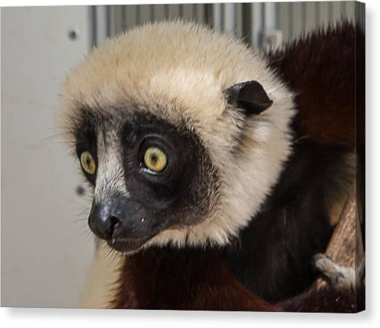 A Very Curious Sifaka Canvas Print
