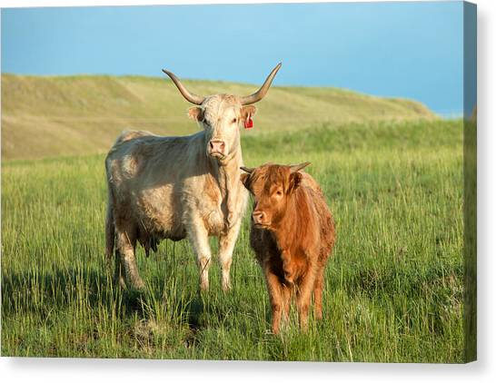 Cow Canvas Print - Big Horn, Little Horn by Todd Klassy