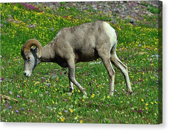 Big Horn Ram Eating Flowers In Glacier National Park Canvas Print