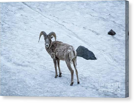 Big Horn Sheep  Canvas Print