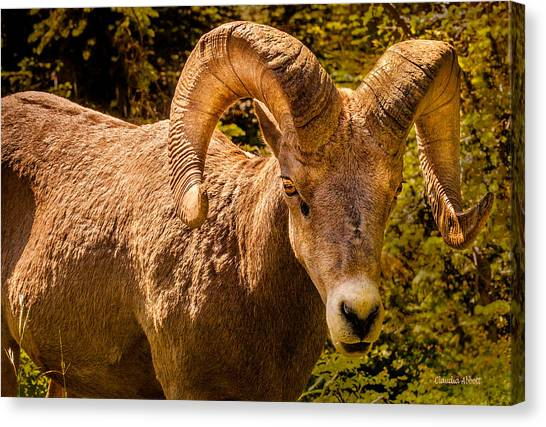 Canvas Print featuring the photograph Big Horn Sheep by Claudia Abbott