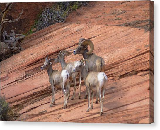 Big Horn Sheep, Zion National Park Canvas Print