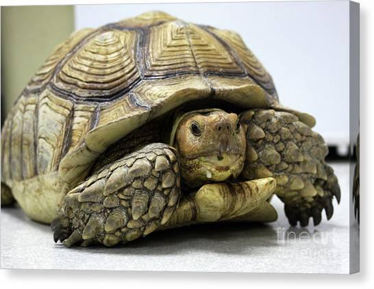 Big Ol Turtle Canvas Print