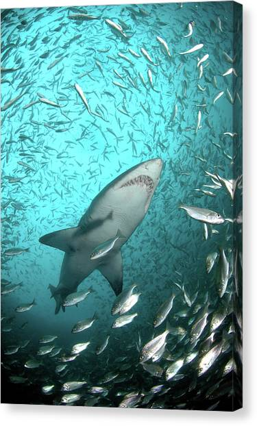 Large Mammals Canvas Print - Big Raggie Swims Through Baitfish Shoal by Jean Tresfon