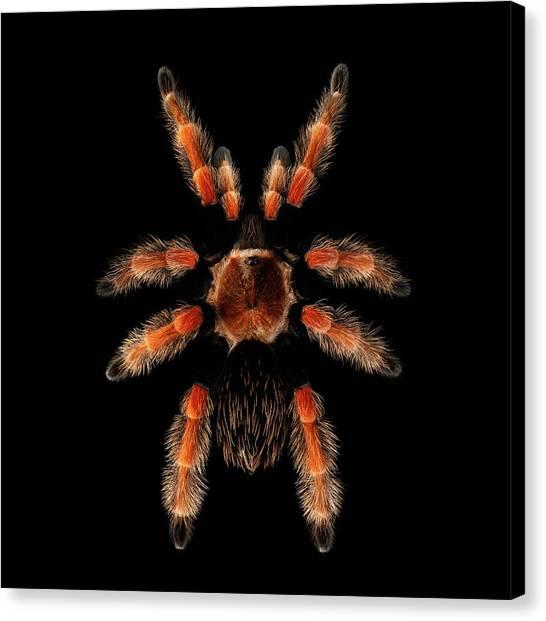 Big Spider Brachypelma Boehmei Canvas Print