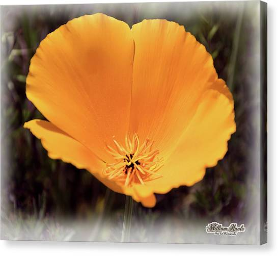 Canvas Print featuring the photograph Big Yellow Poppy by William Havle