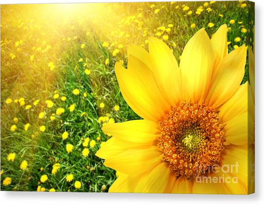 Big Yellow Sunflower  Canvas Print