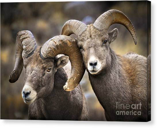 Bighorn Brothers Canvas Print