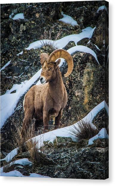 Bighorn Ram 2 Canvas Print
